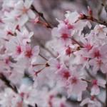 2014年の桜開花予想はズバリ!花見に大事な5つのグッズはこれ!