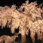 花見シーズン間近!京都のおすすめの穴場を公開!こっそりマル秘!