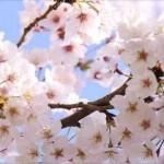GWは北海道で花見!桜見頃のおすすめの穴場スポットで旅行を満喫!