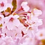 GWに桜満開の花見を!桜まつりで賑わう東北の人気おすすめスポット